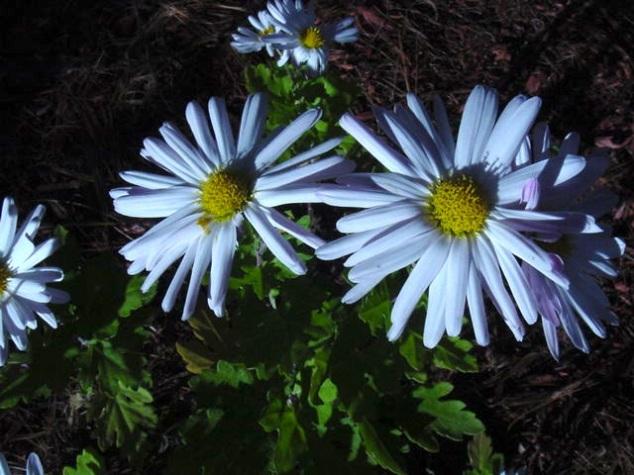 Daisies - my favorite flower!