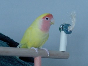 One of our lovebirds, Mango, used to make kiss-kiss sounds only to my husband.