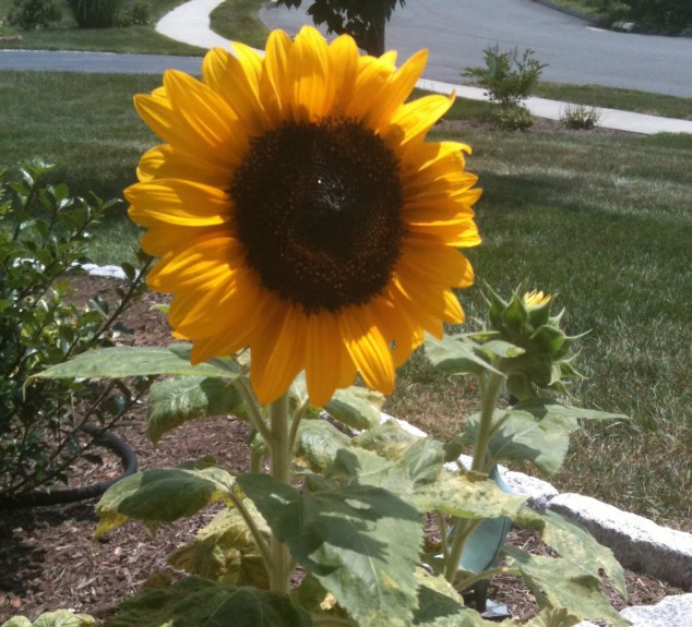 Dwarf Sunflower in a pot. I hope to try the tall Sunflowers this year.
